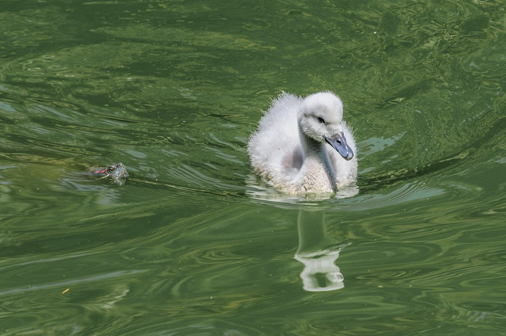 Swan with turtle
