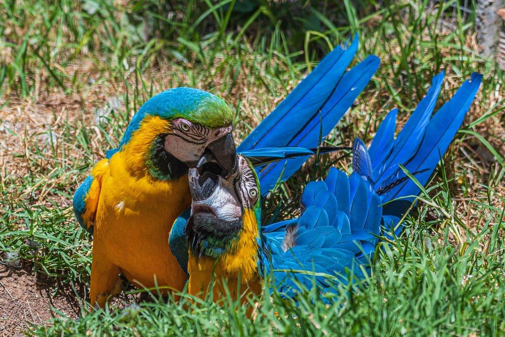 Breeding Parrots