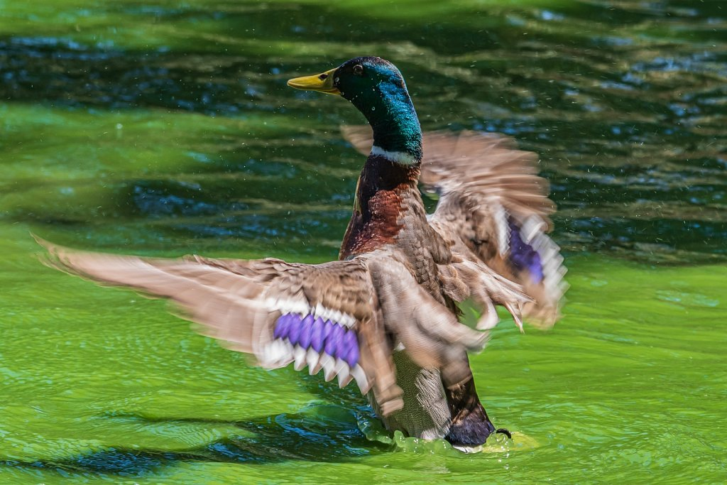 Starting duck