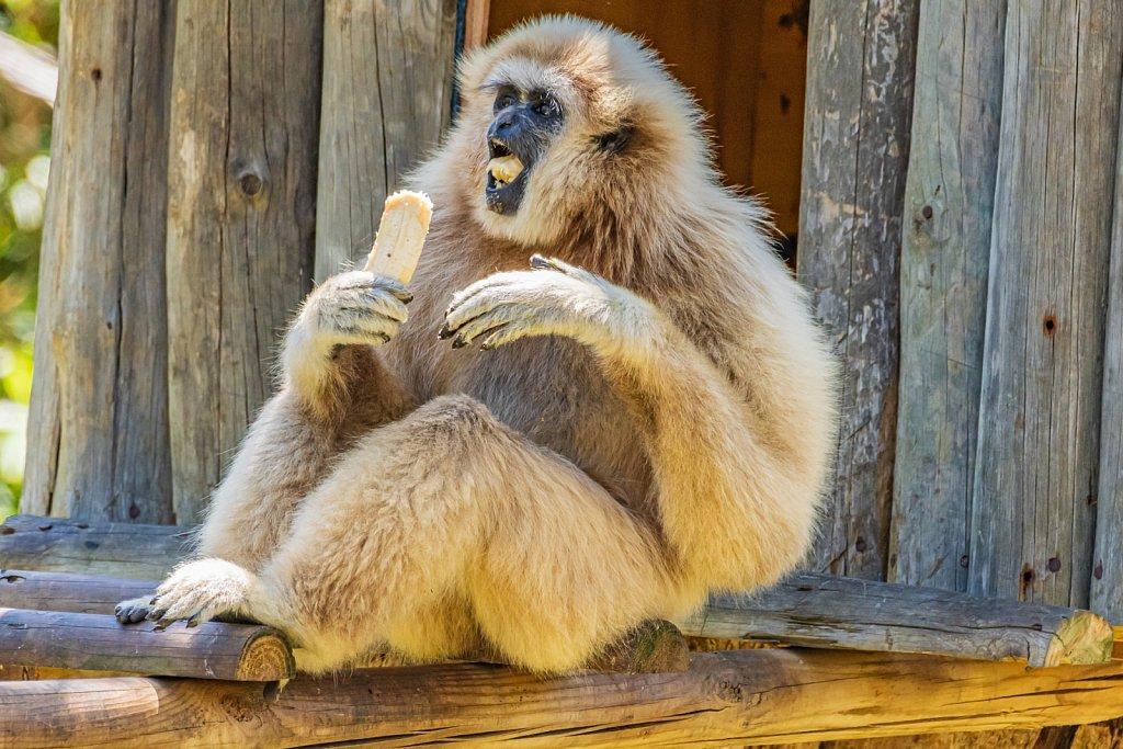 Gibbon eating a banana